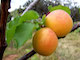 Enjoy-Colorado-Apricots