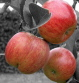 Smaller-Apples-for-Export