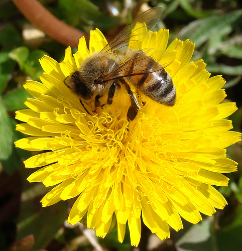 Bee-Buzz-to-Pollination