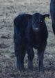 Record-Lows-In-Live-Cattle