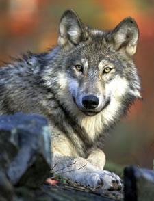 Kill-Order-Approved-for-2nd-Washington-Wolf-Pack-After-Cattle-Attacks