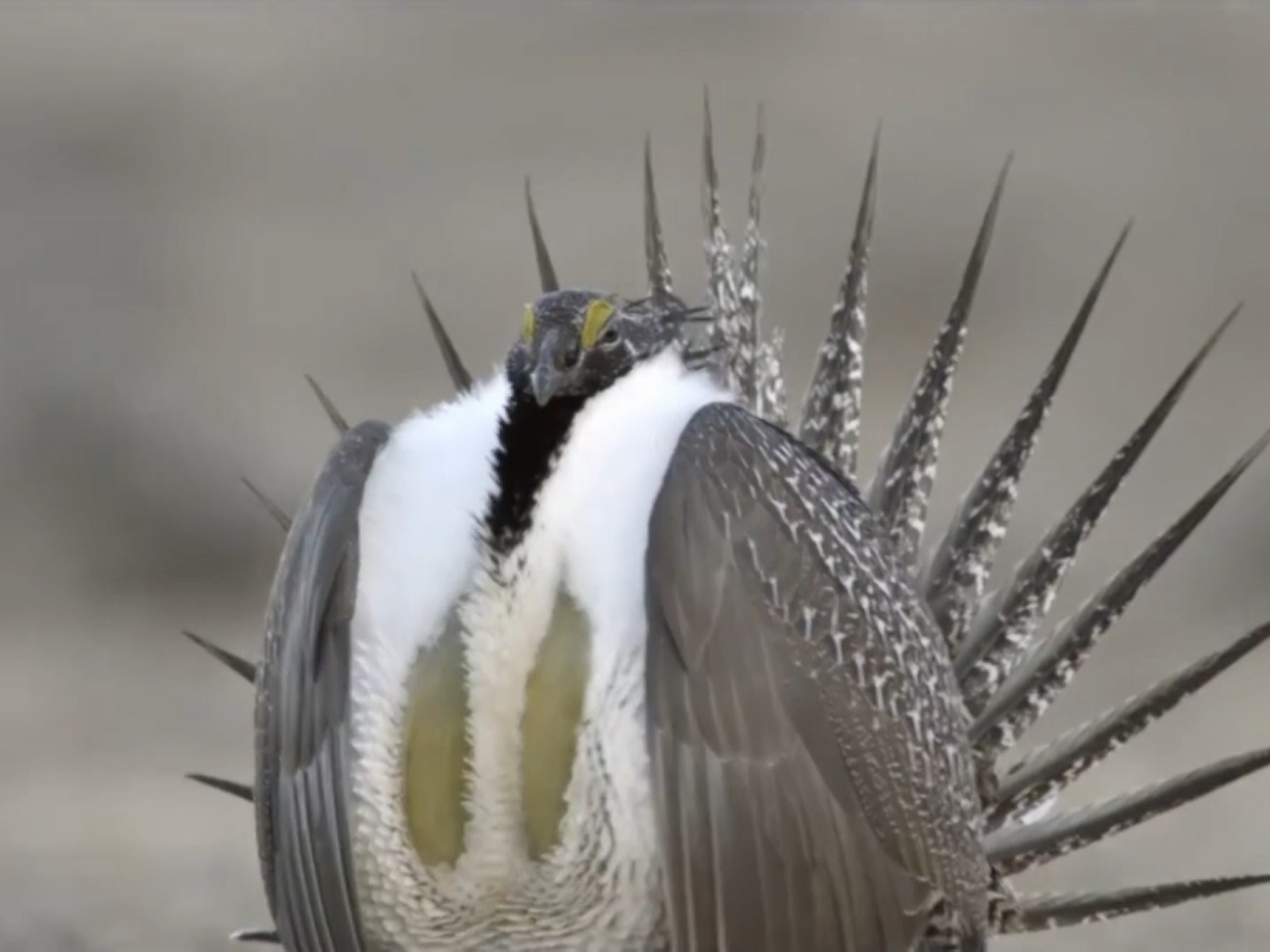 Livestock Groups Call Attention to Judicial Activism in Sage Grouse Case