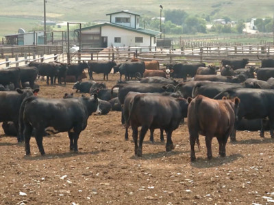USDA Cattle on Feed Report Summary
