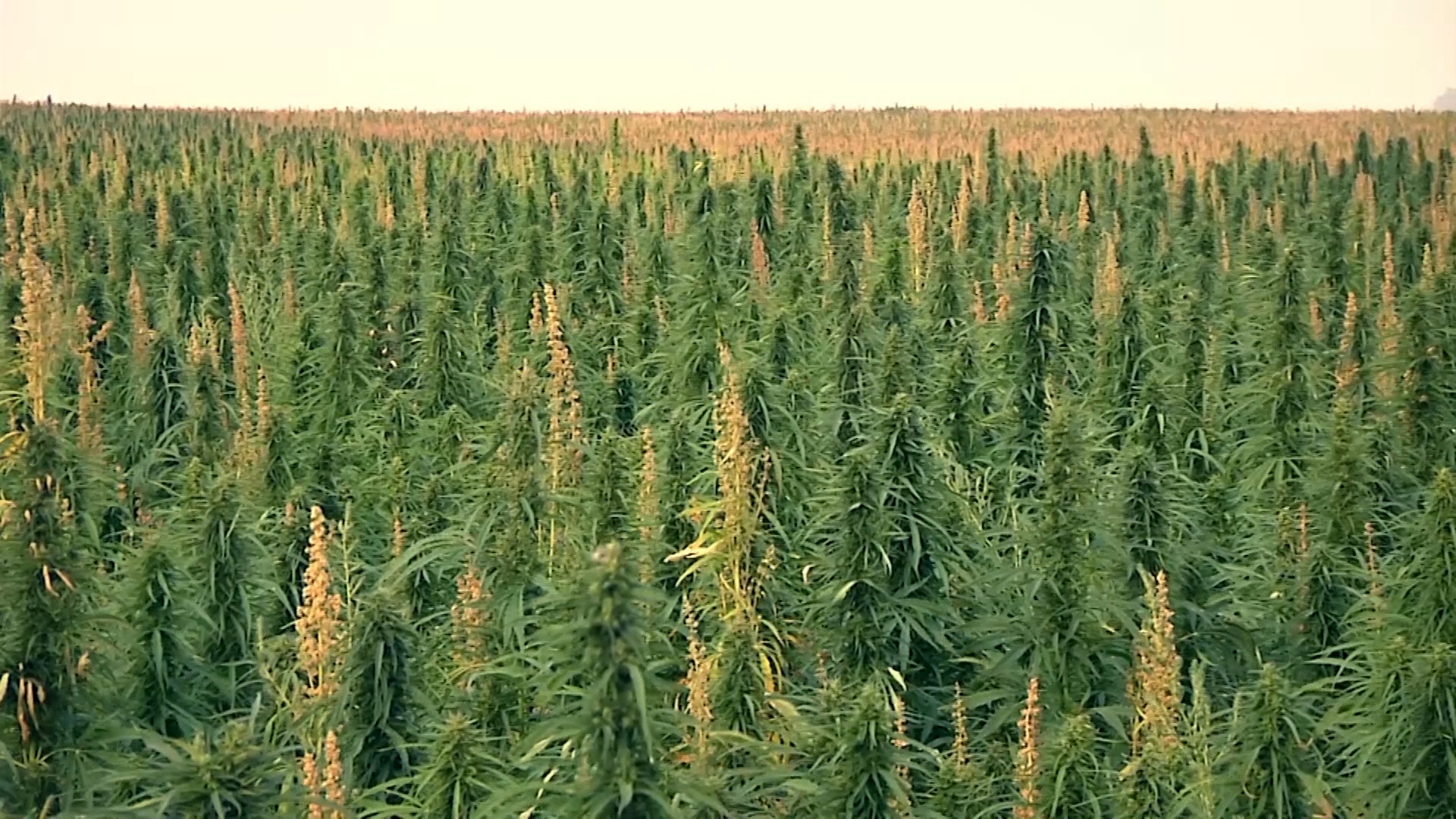 U.S. Hemp Survey: Poised to Become 4th Major Crop