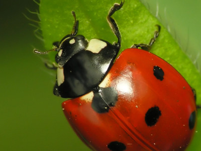 Ladybugs For Your Orchard Pt 1
