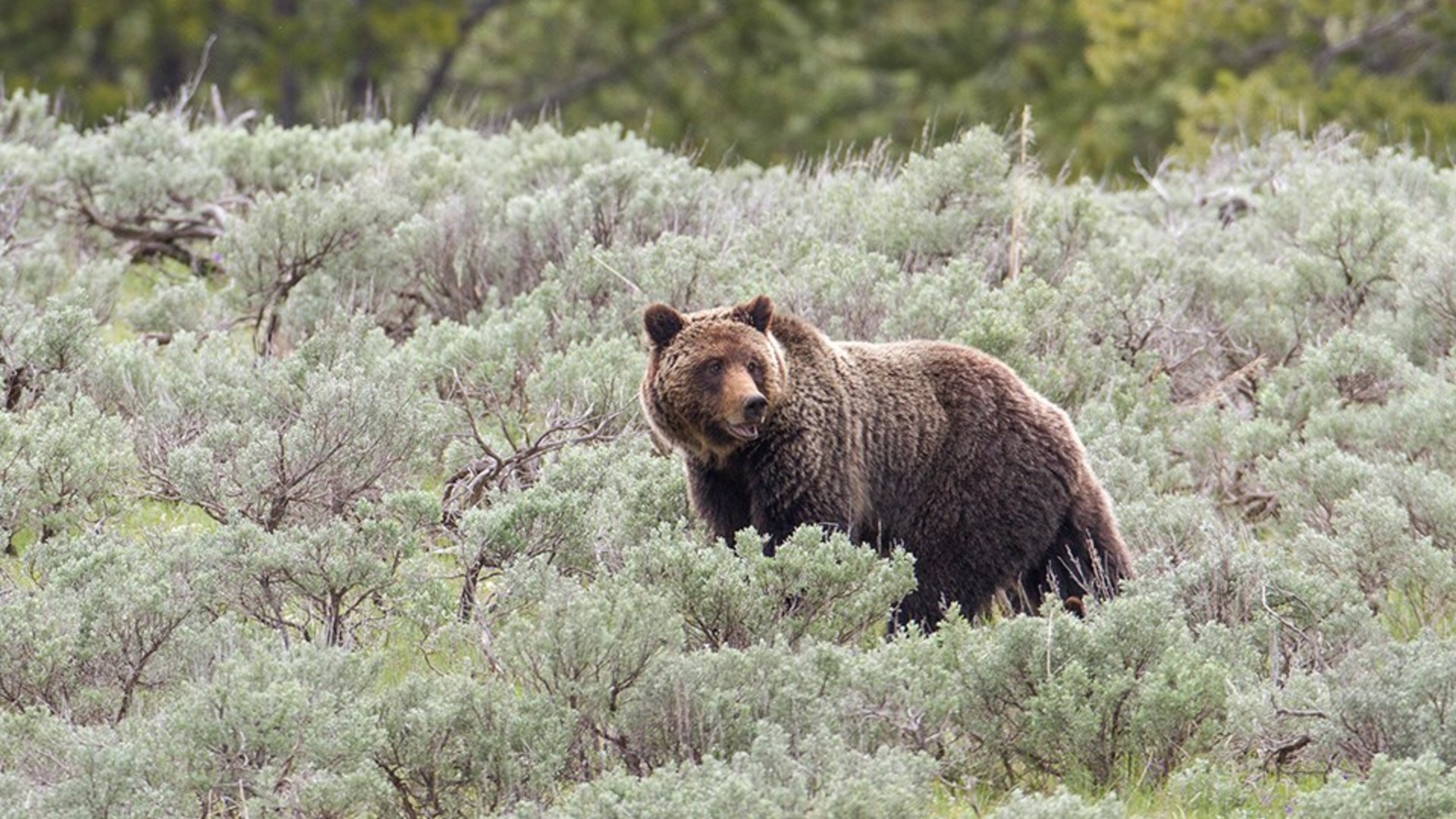 U.S. Wildlife Officials Agree to Grizzly Bear Review after Lawsuit