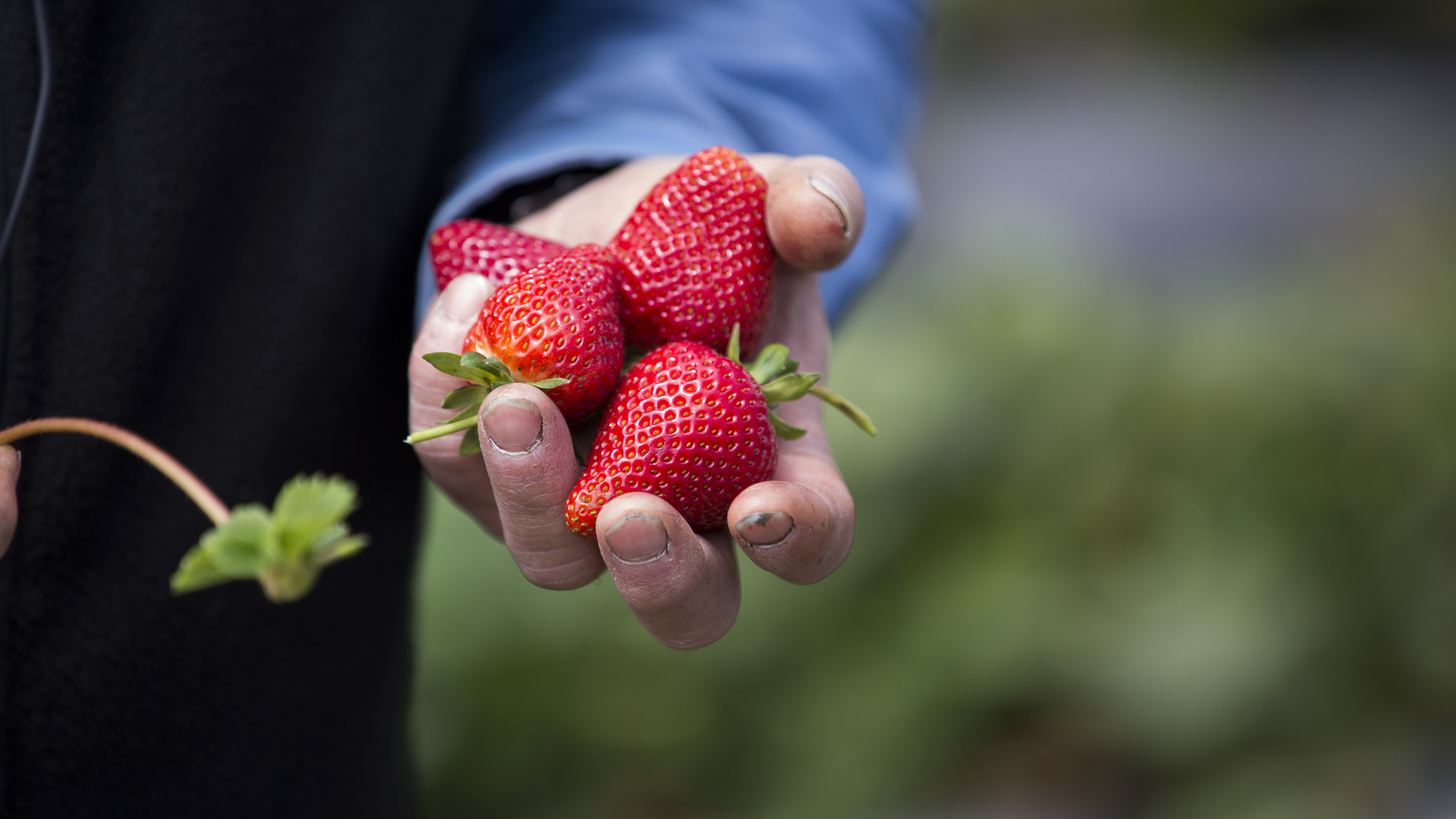 Strawberry Breeders Target Disease Resistance