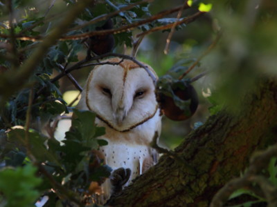 Barn Owls for Integrated Pest Management