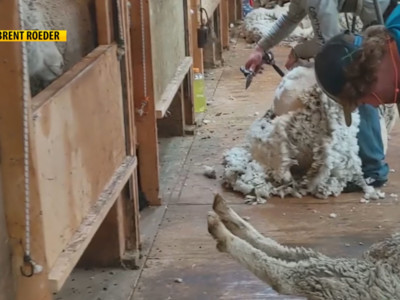 Wool Buyer Offers Advice on Shearing Day