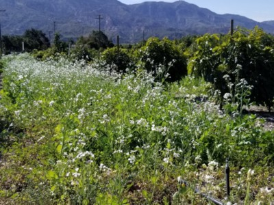 Cover Crops in Orchards