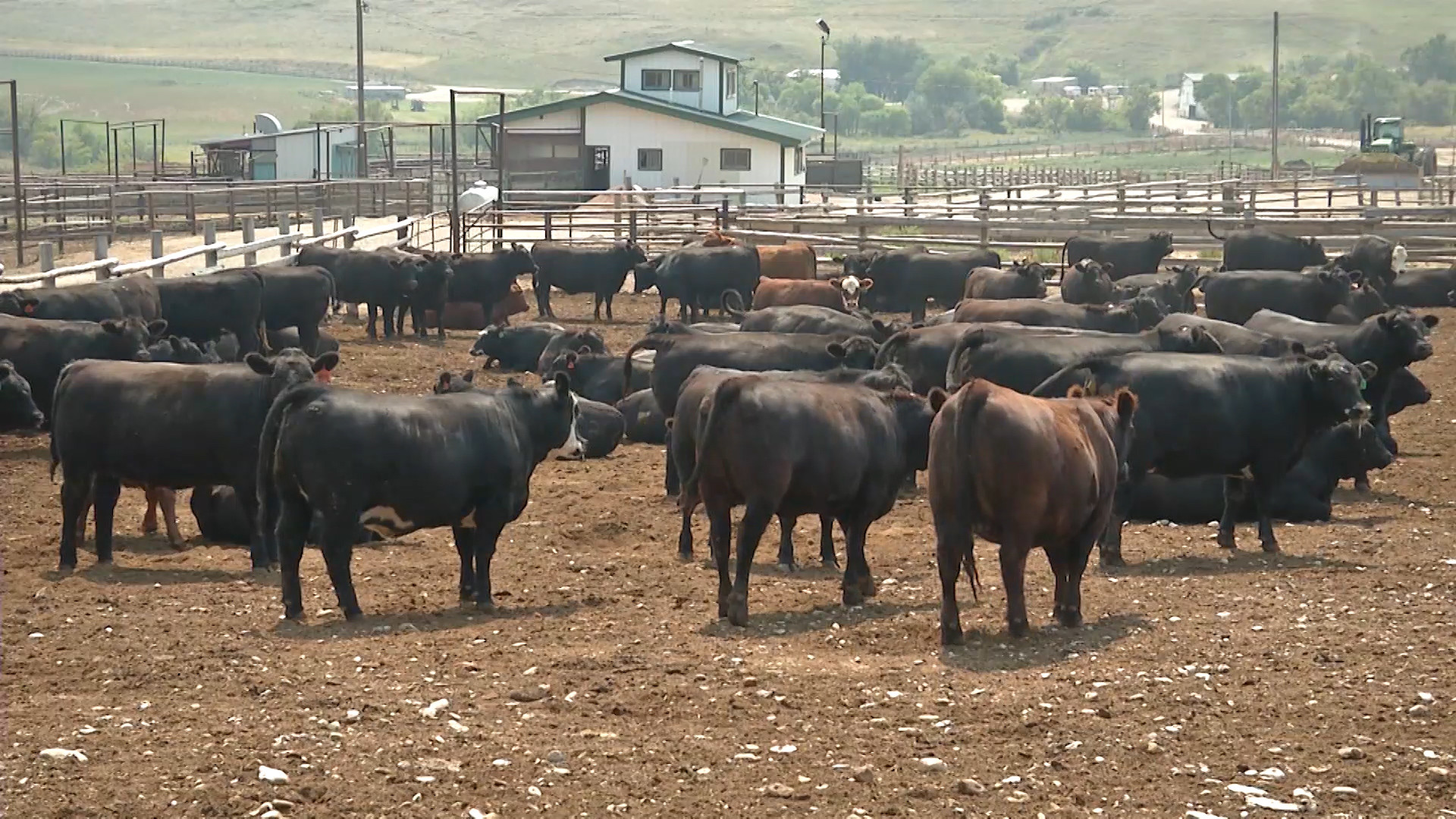 Popular Cattle Market Analysts Weighs in on COVID-19
