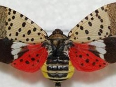 Keeping Spotted Lanternfly out of California