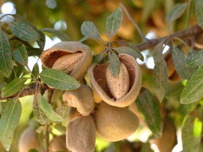 Answering Questions From Almond Buyers