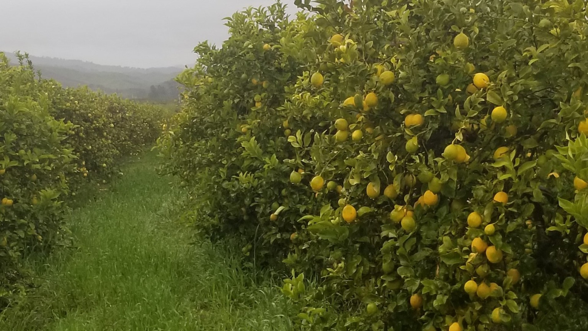 Lemons are Ready, but Markets are Not