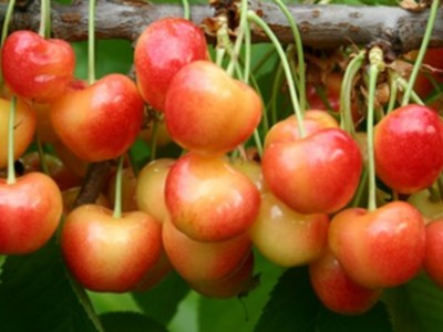 Cherries in the COVID-19 World Pt 2