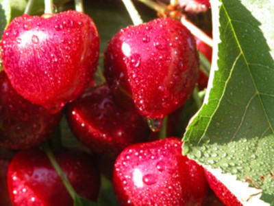 Cherries in the COVID-19 World Pt 3
