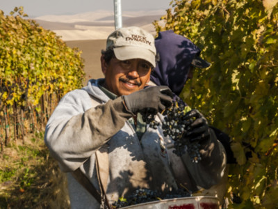 Wine Grape Harvest 2019 Pt 1