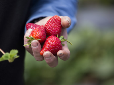 Enhanced Safety Practices on California Strawberry Farms