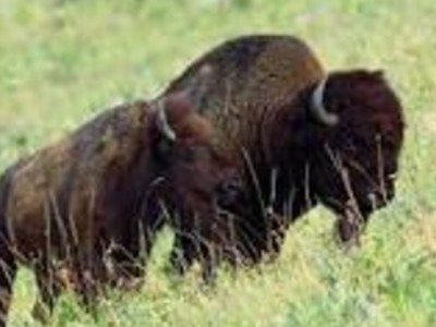 Mexico Open for US Bison