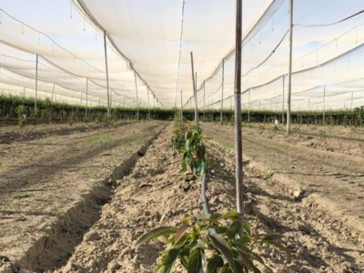 Growing Avocados in the Central Valley?