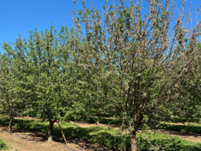 Almond Leafout Failure Seems Related to Wet Springs
