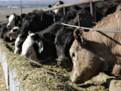 July Cattle Survey