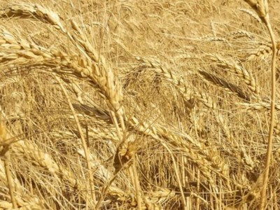 Colorado Wheat Virtual Field Days