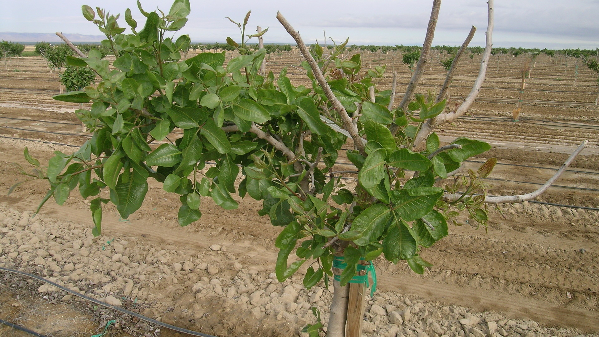 Winter Juvenile Tree Dieback  In Pistachios