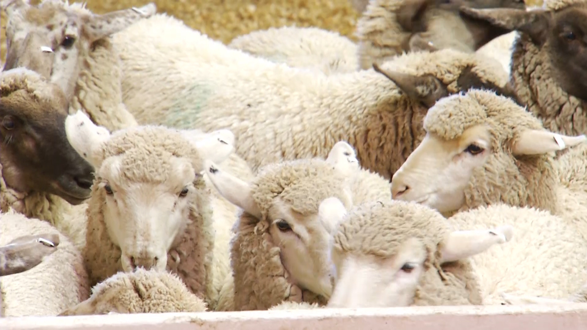 ASI Requests CFAP Coverage for Replacement and Slaughter Ewes
