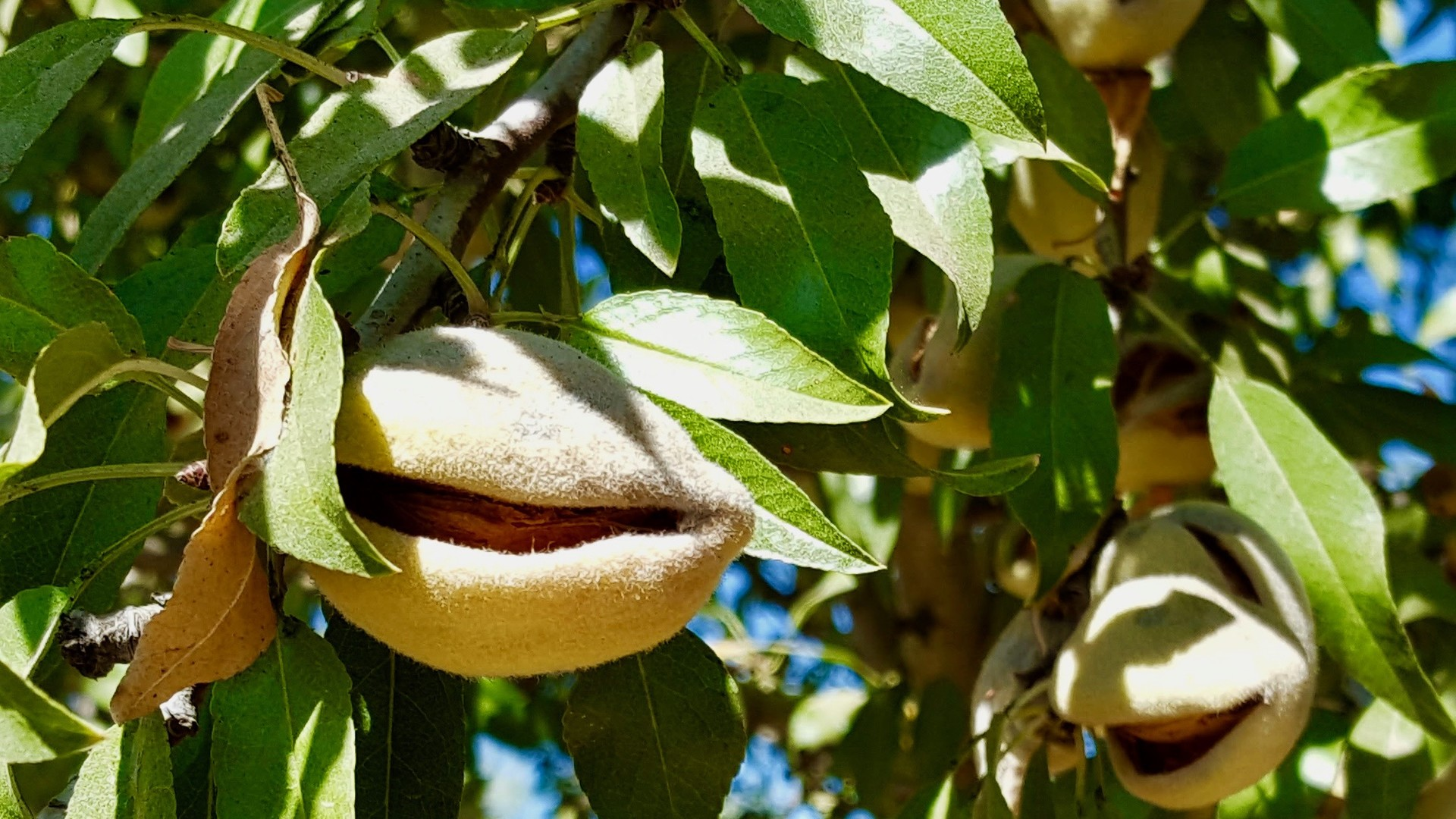 The California Almond Sustainability Program Helps Buyers Understand the Almond Industry Better when it Comes to Sustainably Growing the Crop