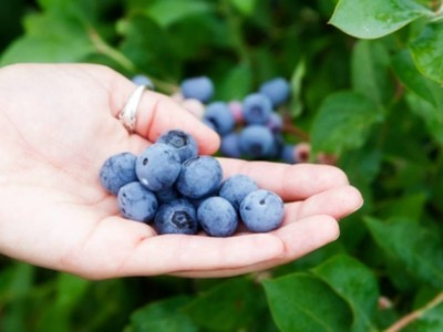 Blueberries Organic Vs Conventional Pt 3