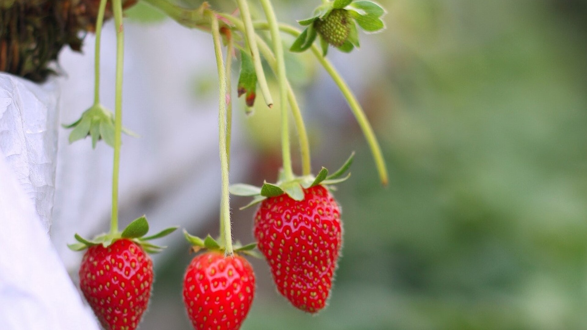Strawberry Demand Projected to Remain Strong