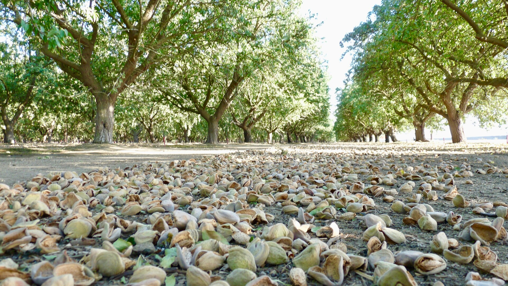A Pest Control Advisor Talks About the Current Almond Harvest