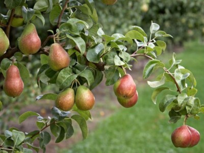 Pandemic Replacement Parts and Pear Estimates for WA and OR
