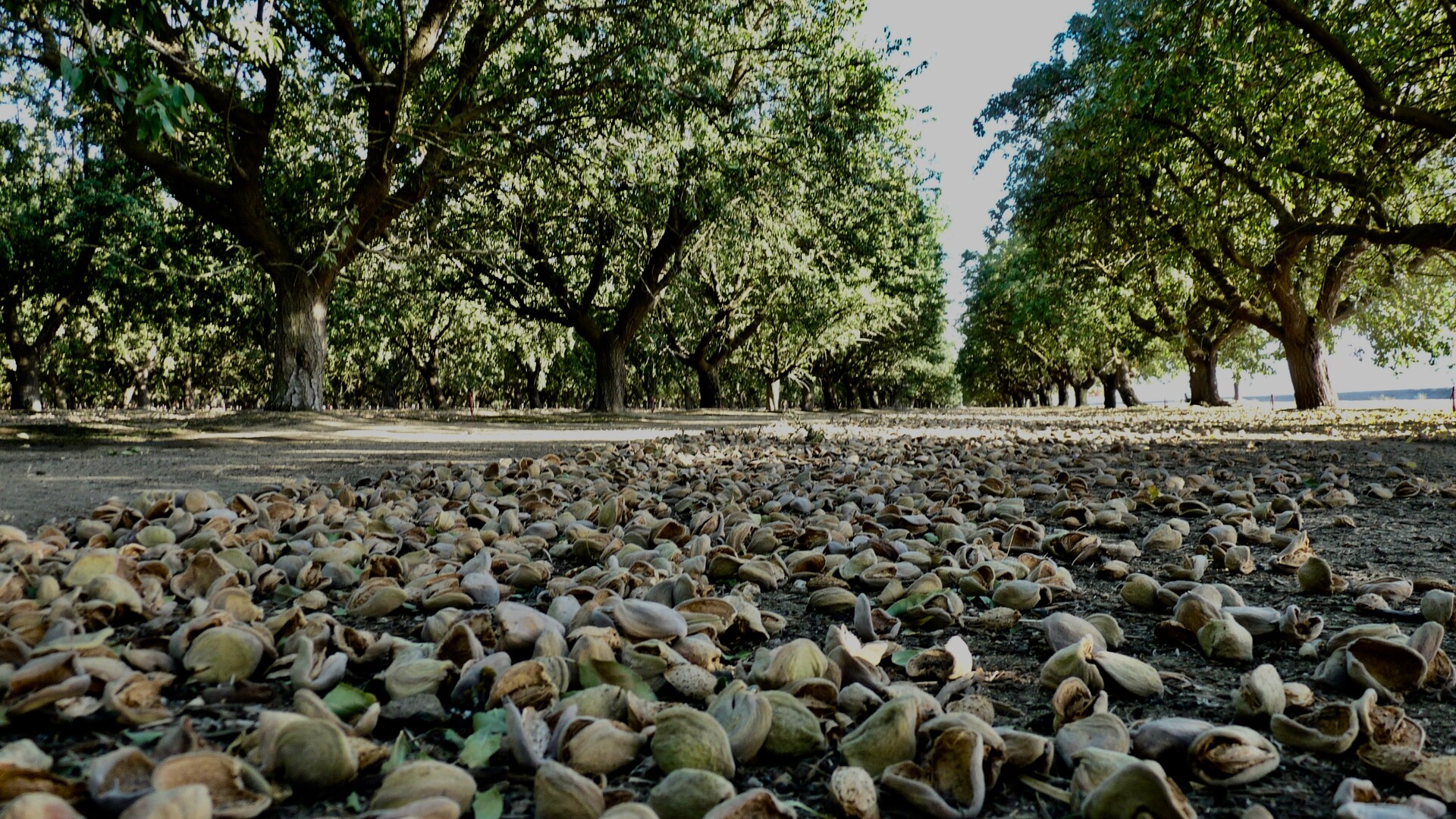 Hot Temperature and Fires Challenged Almond Grower