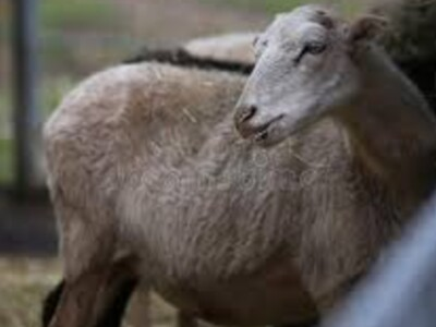 New Processing Plants for Colorado Sheep and Lamb