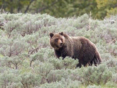 Western Senators Urge Colleagues to Delist Greater Yellowstone Grizzly Bears