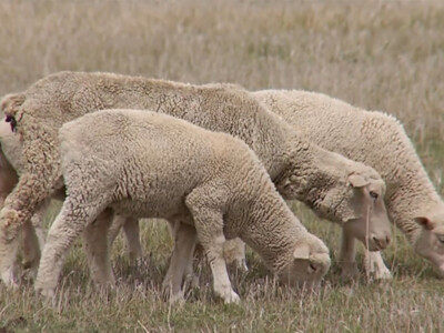 USDA Needs Lamb Sales Reports