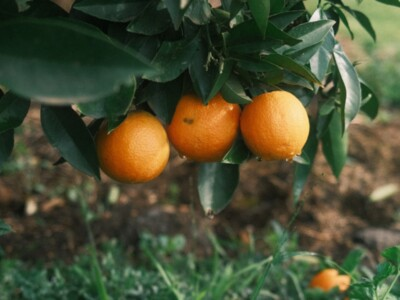 Cover Crops in Citrus - Part 1