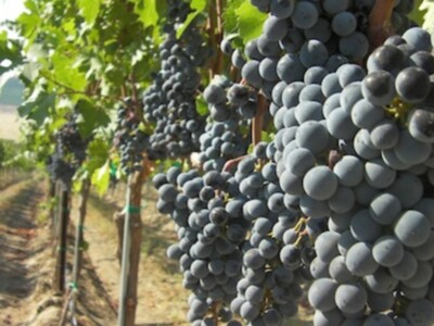 Wine Grapes COVID-19 Relief Pt 3