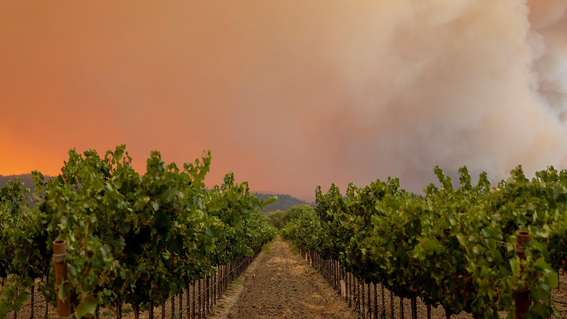 Oregon Wine Grapes and Smoke Pt 1