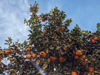 Integrated Pest Management for Citrus Greening Disease