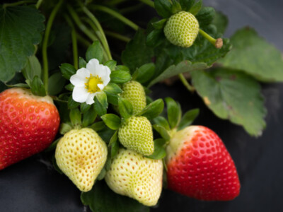 Strawberry Breeding