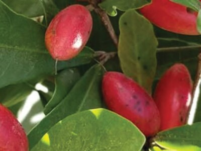 Miracle Fruit Coming to South Florida - Part 1