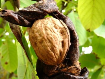 The Dynamics of the Walnut Crop