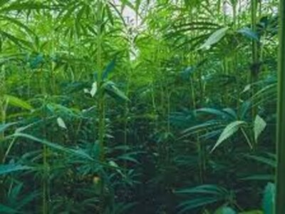 Hemp Center of Excellence Consultants Chosen