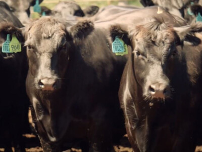 Cattle Inventory Down Slightly, Calf Crop Down 1%