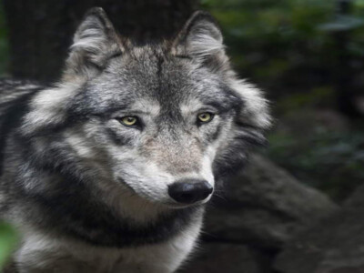 Fish & Wildlife Service Defends Gray Wolf Delisting