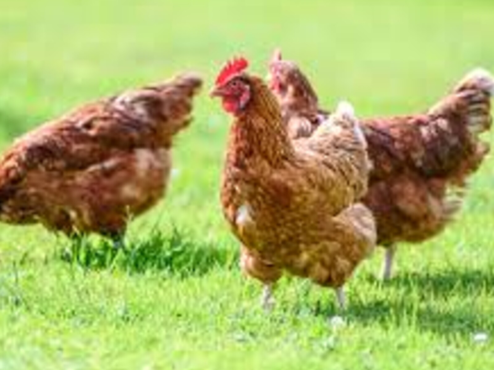 Avian Influenza  Warning