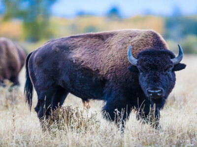 Challenge Grants Fuel Opportunities to Double Support for Bison Center of Excellence